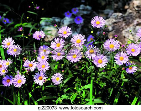 Stock Photo of Korea, Aster koraiensis, Taeback mountain, nature.
