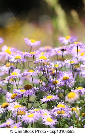 Stock Photographs of alpine aster.