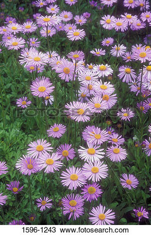 Stock Photo of Goliath Alpine Aster (Aster alpinus) flowers in a.