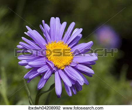 Stock Photo of Alpine Aster (Aster alpinus), prevalent in the Alps.