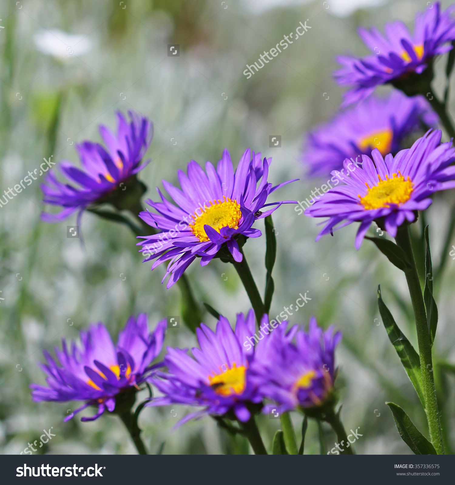 Alpine Aster Aster Alpinus Decorative Garden Stock Photo 357336575.