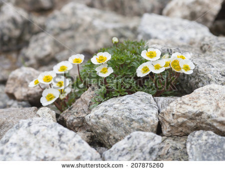 """mountain Buttercup"" Stock Photos, Royalty."