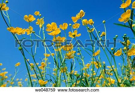 Stock Photograph of Meadow buttercup (Ranunculus acris). Bavaria.