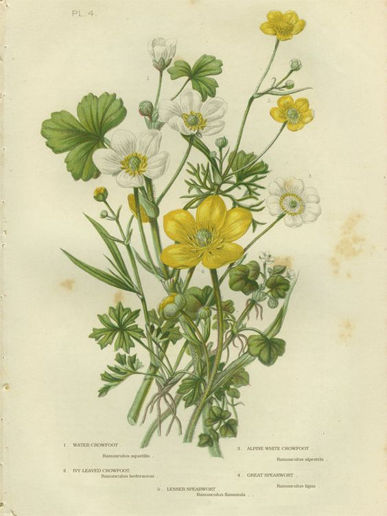 Alpine White Crowfoot, Spearwort, Ivy.