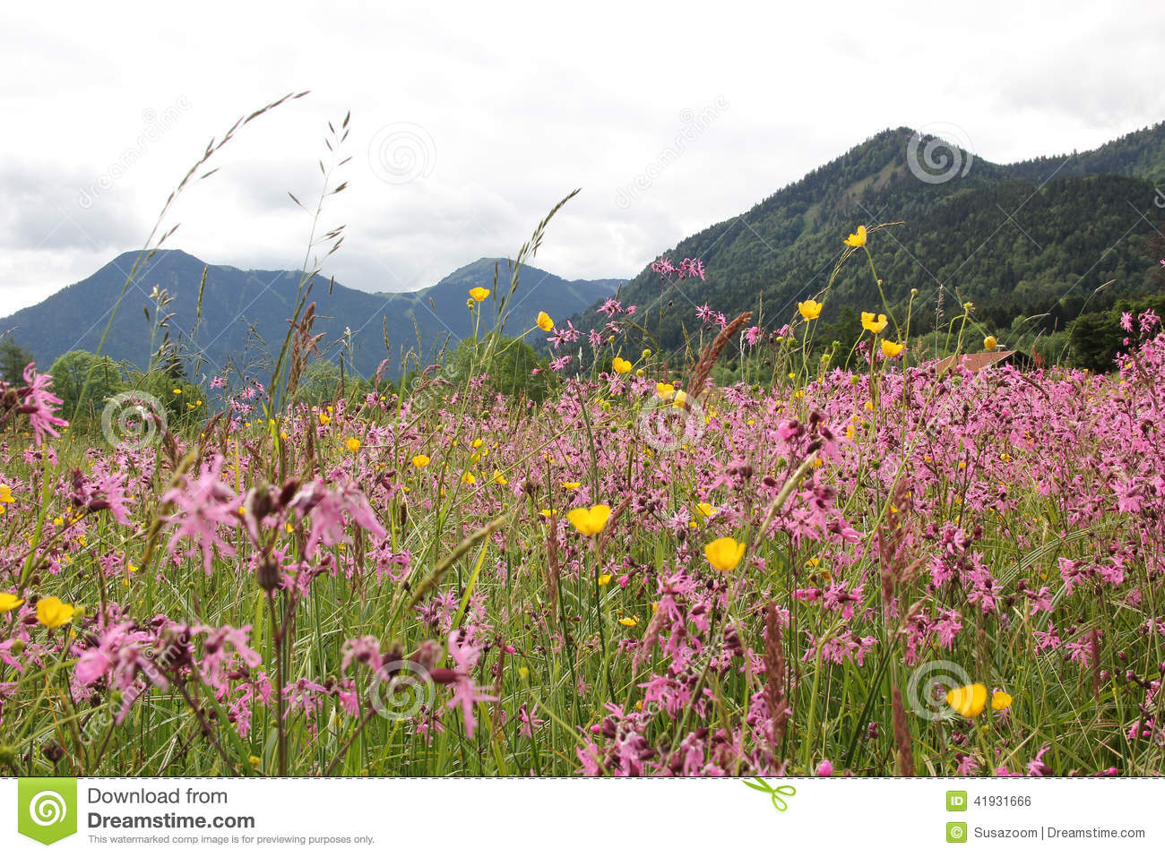 Alpine Wildflower Meadow With Lychnis And Buttercups, Germany.