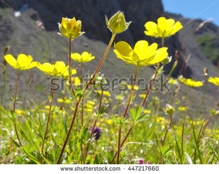 Mountain Buttercup Stock Photos, Royalty.