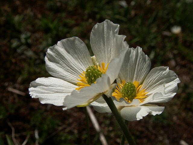 Crowfoot Buttercup ~ Buttercups ~ Ranunculus Plant Care Guide.