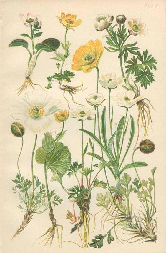 Alpine Poppy, Wild Buttercup, Ranunculus, Glacier Crowfoot, 1906.