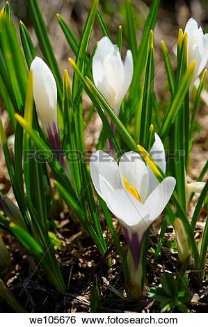Stock Images of Alpine White Crocus meadow flower.