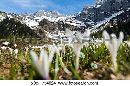 Stock Photo of Spring Crocus Crocus vernus in the austrian alps in.