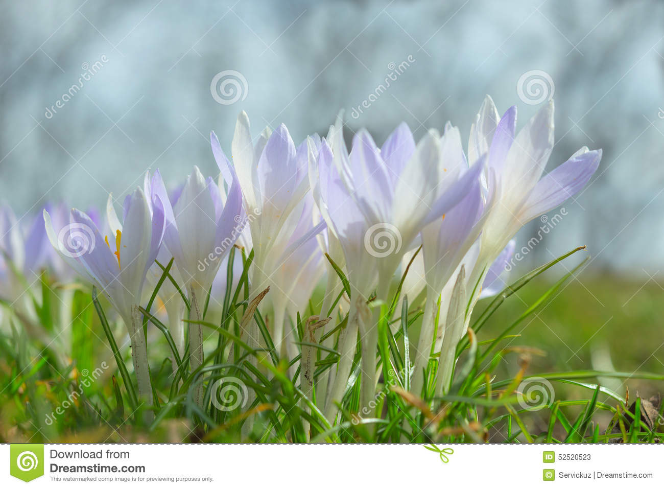 Spring Sunlight Crocus Pastel Flowers On Sunshine Alpine Meadow.