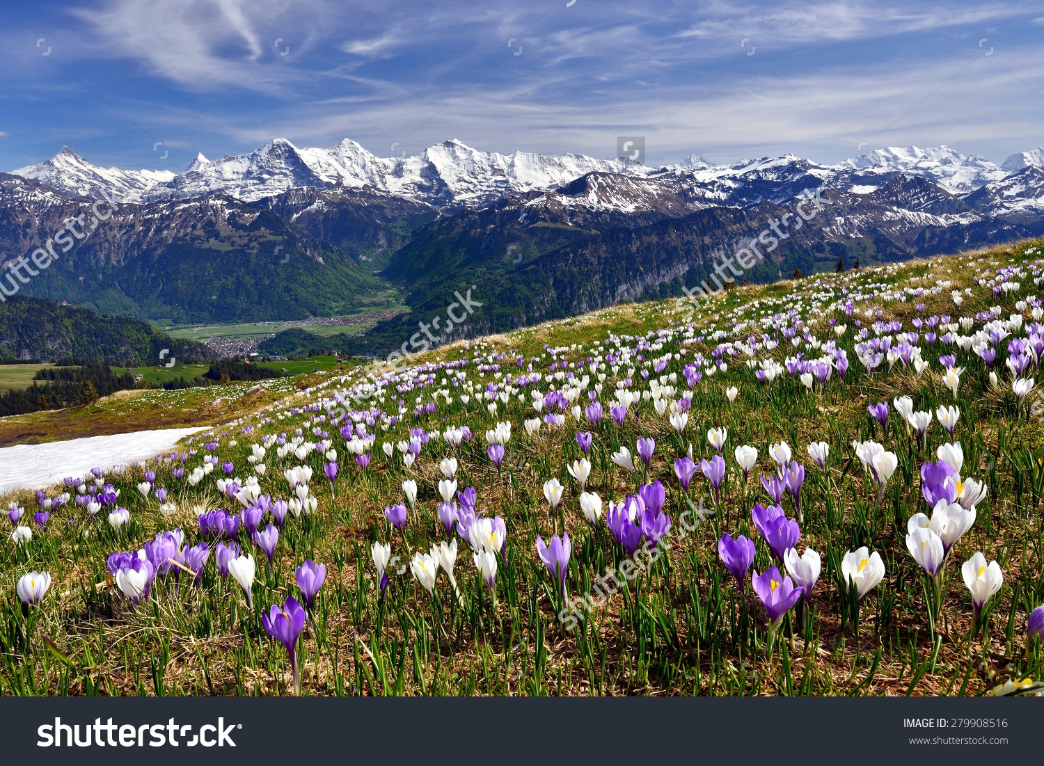 Meadow Crocus Near Interlaken Before Bernese Stock Photo 279908516.