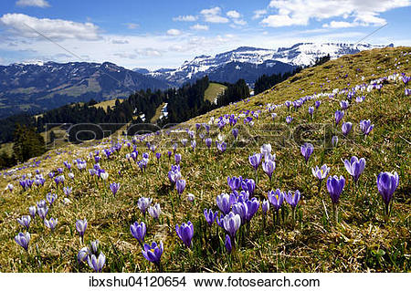 Stock Photo of Meadow with flowering Crocuses (Crocus vernus.
