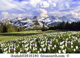 Mountain crocus Stock Photos and Images. 1,332 mountain crocus.