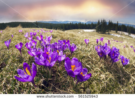 Crocus Stock Photos, Royalty.