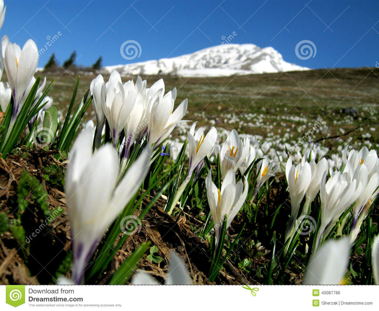 Crocuses In The Italian Alps Stock Photo.