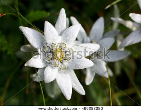 Edelweiss Stock Images, Royalty.