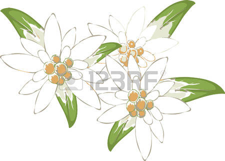 201 Edelweiss Stock Illustrations, Cliparts And Royalty Free.