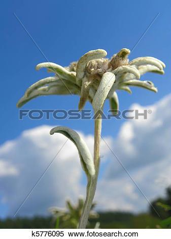 Stock Image of Edelweiss Alpine Flower k5776095.