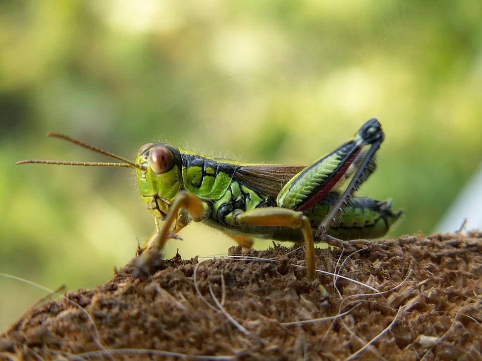 Free photo Alpine Gebirgsschrecke Grasshopper Miramella Alpina.