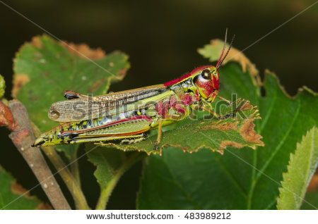 """mountain Grasshopper Insects"" Stock Photos, Royalty."