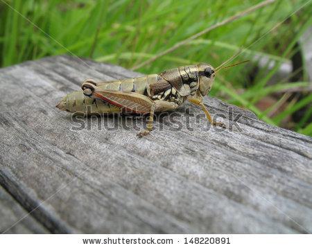 Green Mountain Grasshopper Stock Photos, Royalty.