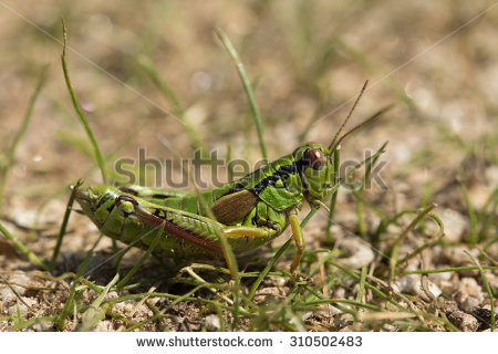 Mountain Locust Stock Photos, Images, & Pictures.