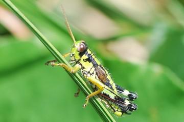Insektenbox: Alpine Gebirgsschrecke.