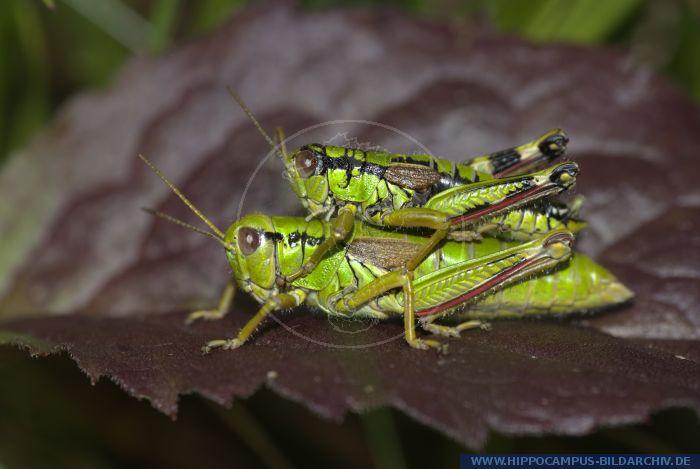 Miramella alpina alias Alpine Grasshopper :: Hippocampus Bildarchiv.
