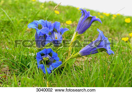 Stock Photo of Blooming Alpine Gentian (Gentiana alpina), Styria.
