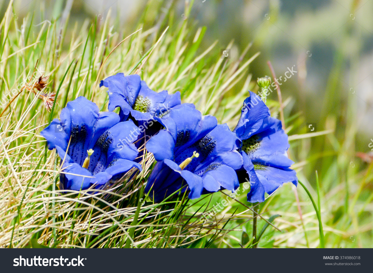 Alpine Flower Gentian Stock Photo 374986018 : Shutterstock.