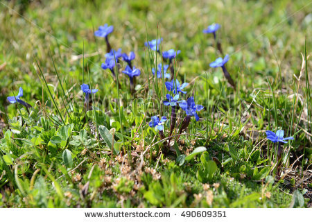 "alpine Gentian"" Stock Photos, Royalty."