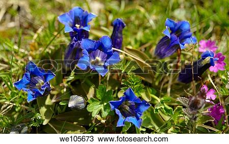 Stock Photo of Trumpet Gentian Gentiana Acaulis Faulhorn Mountain.