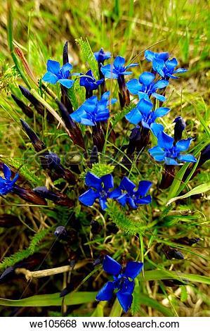 Pictures of Spring Gentian Gentiana Verna.