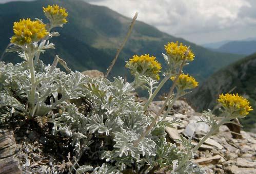 Grey alpine groundsel (senecio incanus).