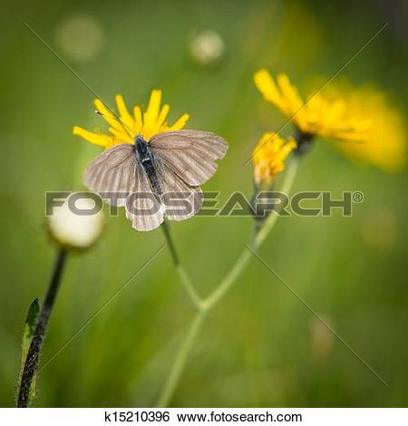 Stock Images of butterfly sitting on groundsel flower k15210396.