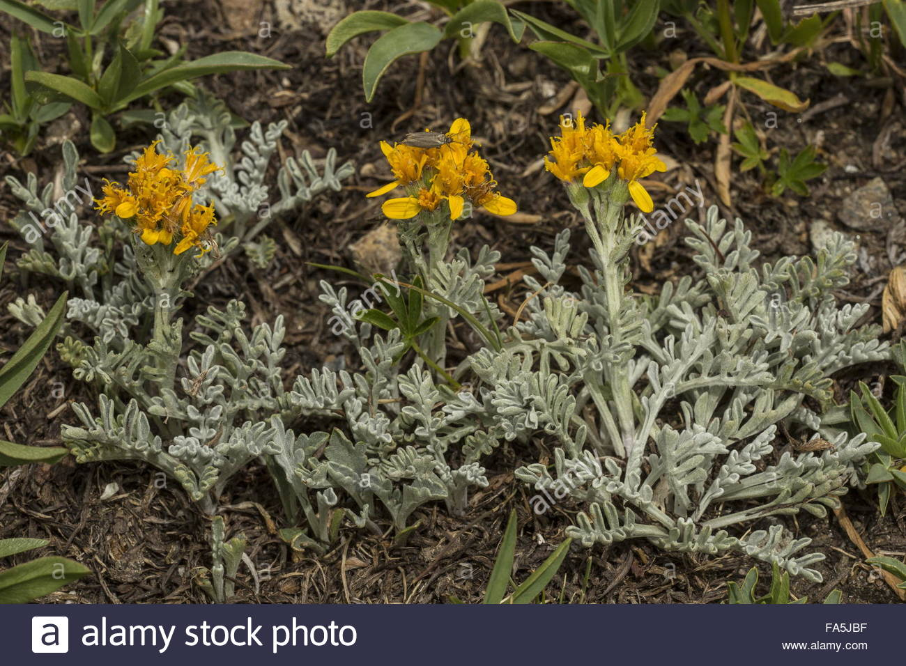 Grey Alpine Groundsel, Senecio Incanus Ssp. Incanus In Flower.