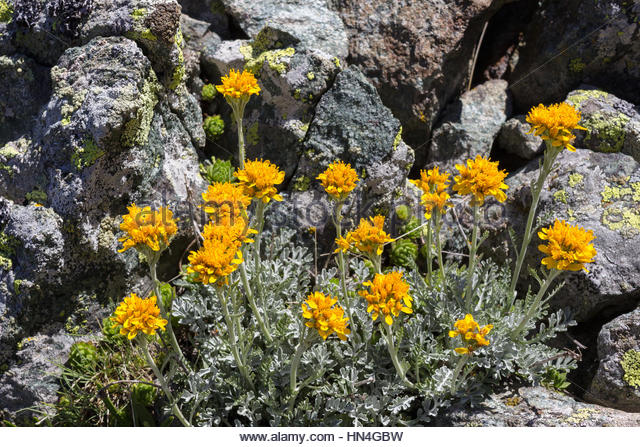 Grey Alpine Groundsel Stock Photos & Grey Alpine Groundsel Stock.