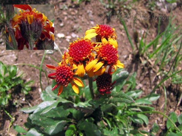 Wildflowers West : Packera pauciflora.