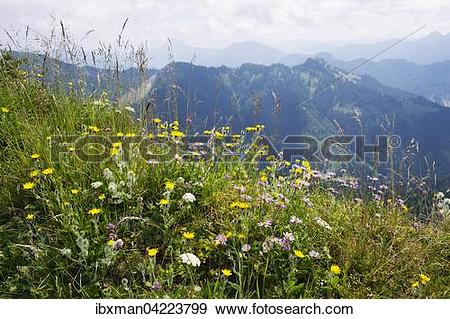 Stock Photograph of Mountain flower meadow on Hochgern, shaggy.