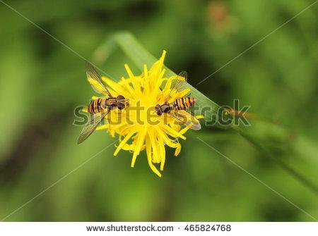 Yellow Hawkweed Stock Photos, Royalty.