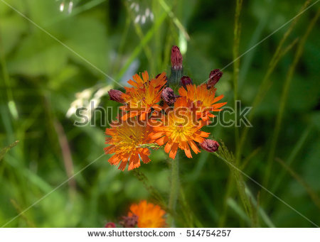 Hawkweed Stock Photos, Royalty.