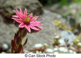 Pictures of alpine succulent.