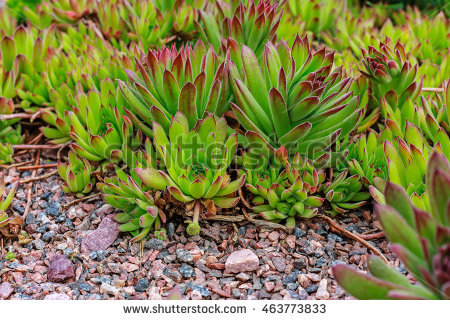 "sempervivum Houseleeks"" Stock Photos, Royalty."