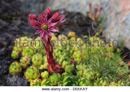 Sempervivum Stock Photos & Sempervivum Stock Images.