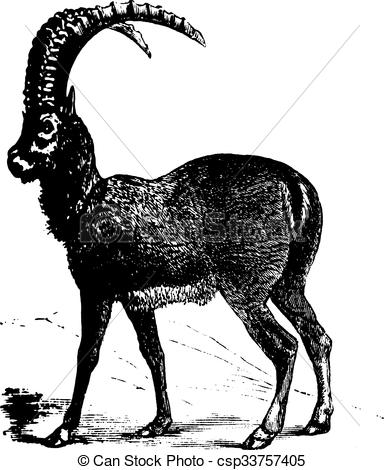 Vector Clipart of Alpine Ibex or Capra ibex, goat, vintage.