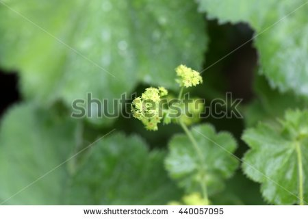 "alchemilla Mollis"" Stock Photos, Royalty."