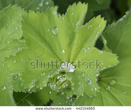 Alchemilla Stock Images, Royalty.
