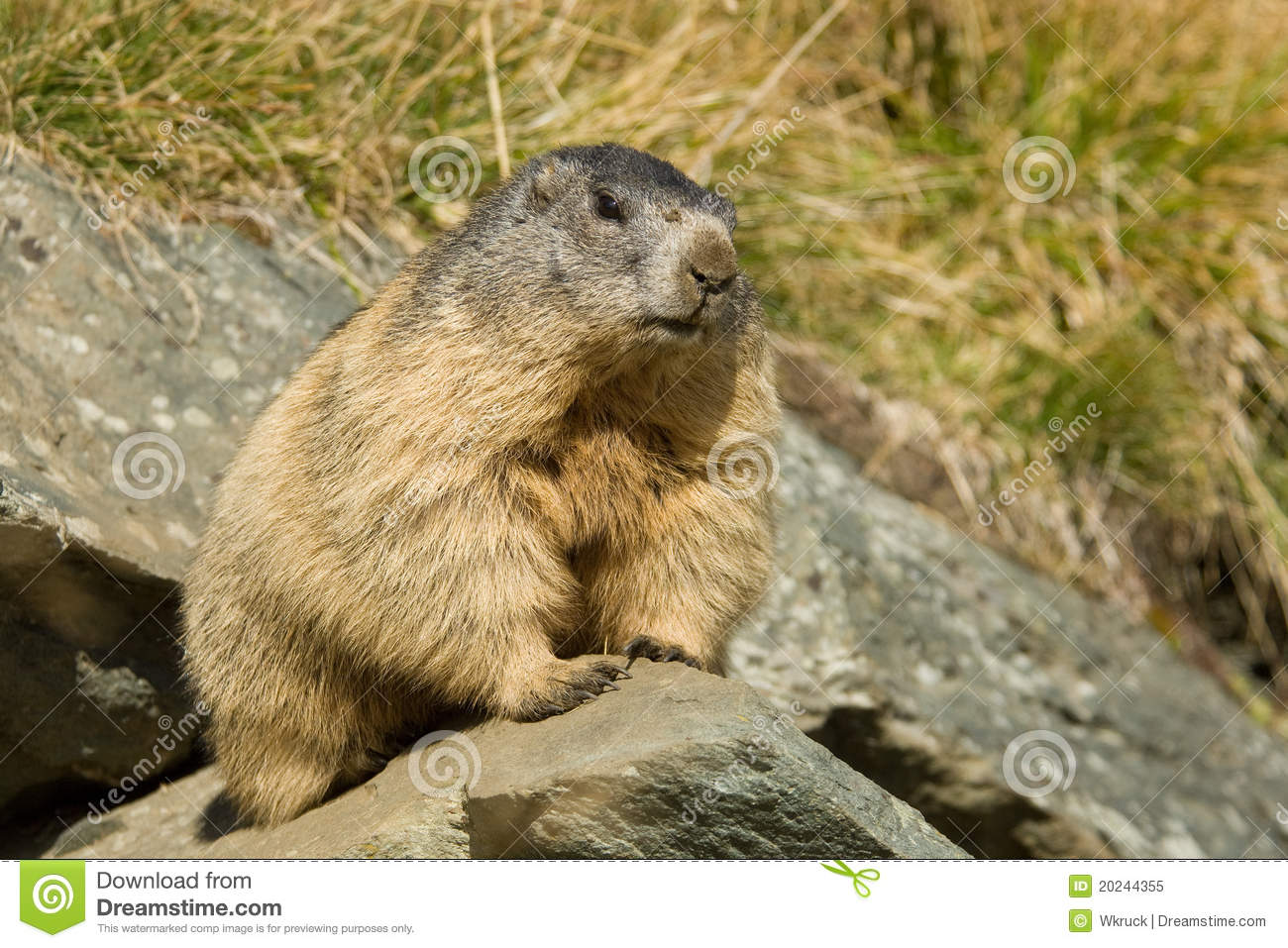 Alpine Marmot Stock Photo.