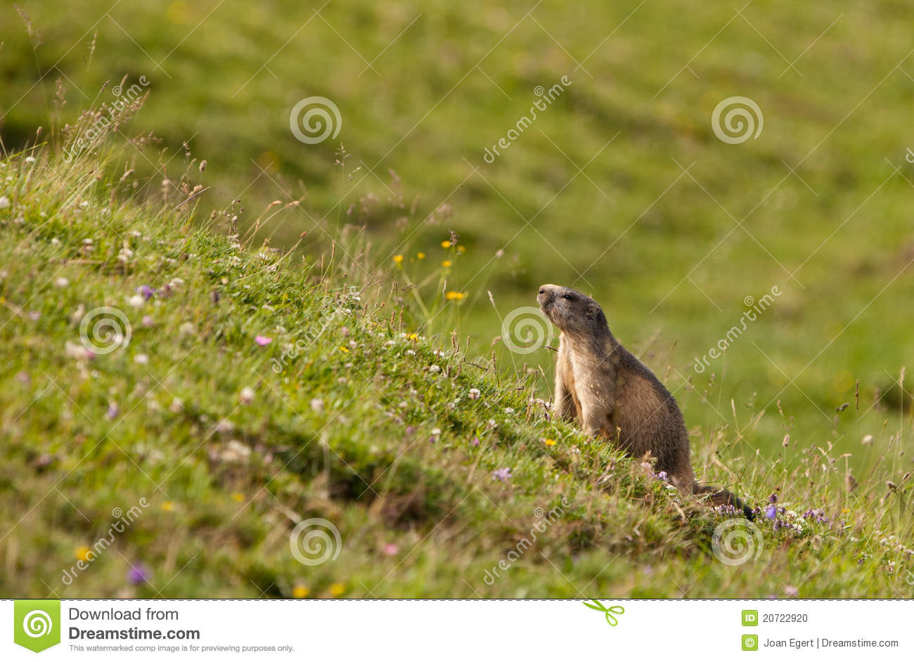 An Alpine Marmot In It´s Habitat Stock Photo.